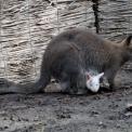 Albínó Benett-kenguruk születtek a  Vadasparkban