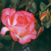 Fazekas: a rózsatermesztés egy vidékfejlesztési modell