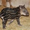 Nőstény kis tapír született a vadasparkban