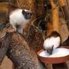 Csupaszpofájú tamarinok érkeztek a Szegedi Vadasparkba