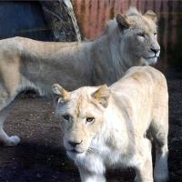 Fehér oroszlánok a Szegedi Vadasparkban