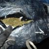 Negyvenmilliós marihuánafogás Röszkén