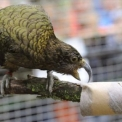 A világ egyik legokosabbnak tartott madárfaja látható a Szegedi Vadasparkban
