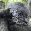 A sztyeppék macskája Szegeden