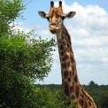 Elpusztult a Szegedi Vadaspark legfiatalabb zsiráfbikája