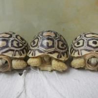 Decemberi meglepetés: három leopárdteknős fióka!