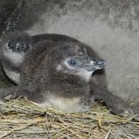 Pingvinfiókák születtek a  Vadasparkban