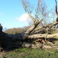 Óriási fapusztulást okoztak a téli esők és viharok Nagy-Britanniában